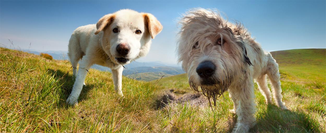 Hunde auf der Alm