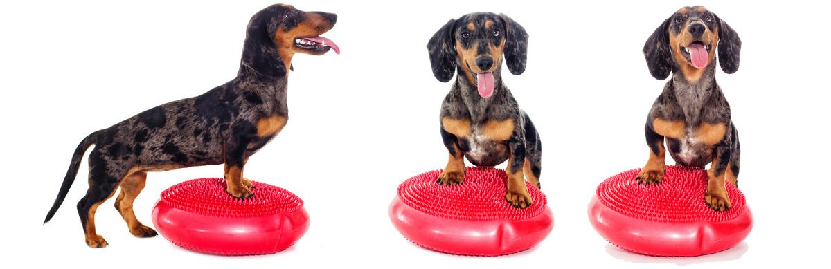 Hundtraining auf einem Balancekissen