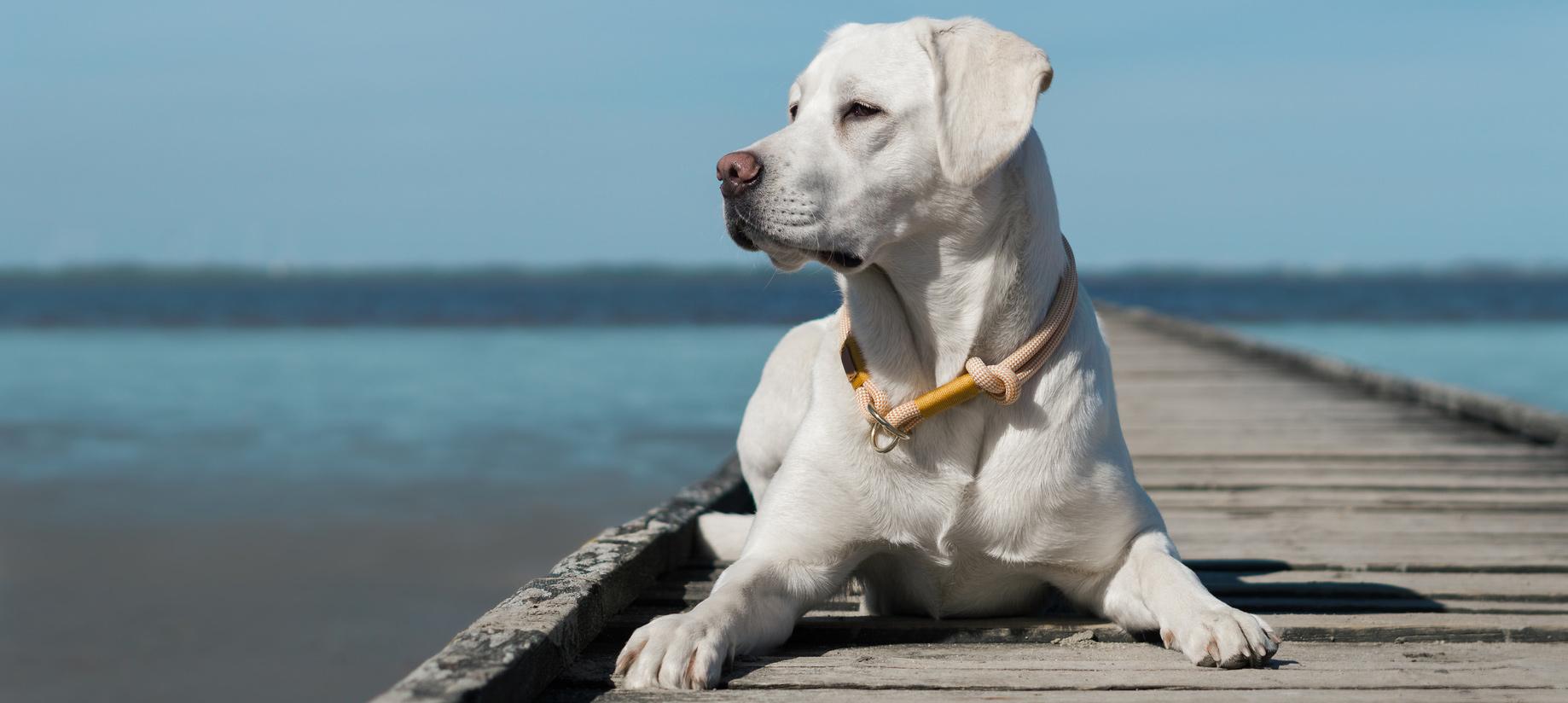 Weißer Labrador am Meer